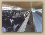 Cattle Confinement Interior  » Click to zoom ->